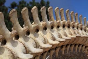 Gray whale vertebrae