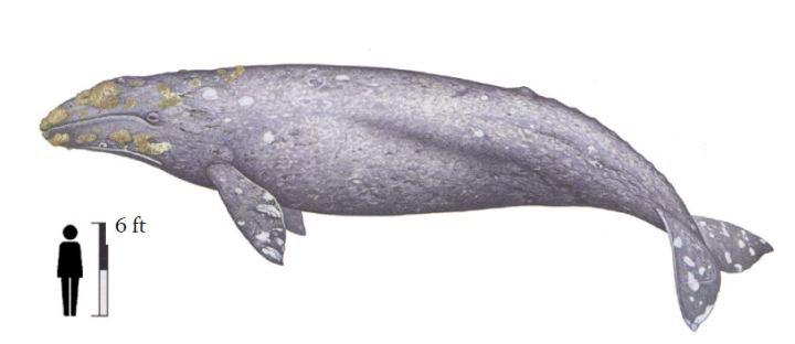 Gray whale vs. man