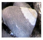 Black Tegula Snail