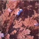 Coralline Red Algae