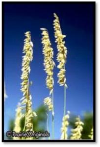 Giant Wild Rye