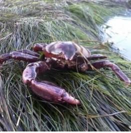 Globose Kelp Crab