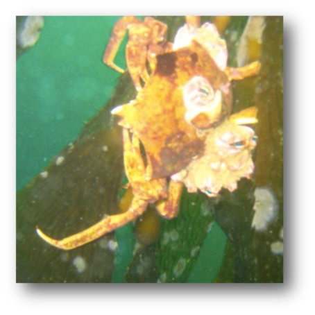 Shield-Backed Kelp Crab