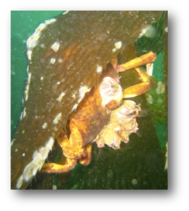 Shield-Backed Kelp Crab