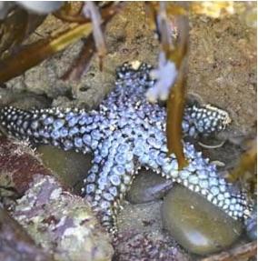 Knobby Sea Star