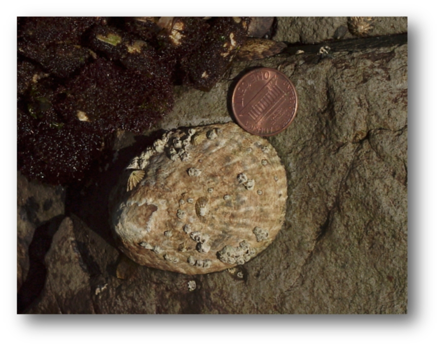 Owl Limpet