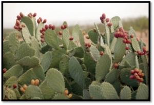 Prickly Pear Catcus Fruit