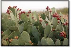Prickly Pear Catcus Fruit