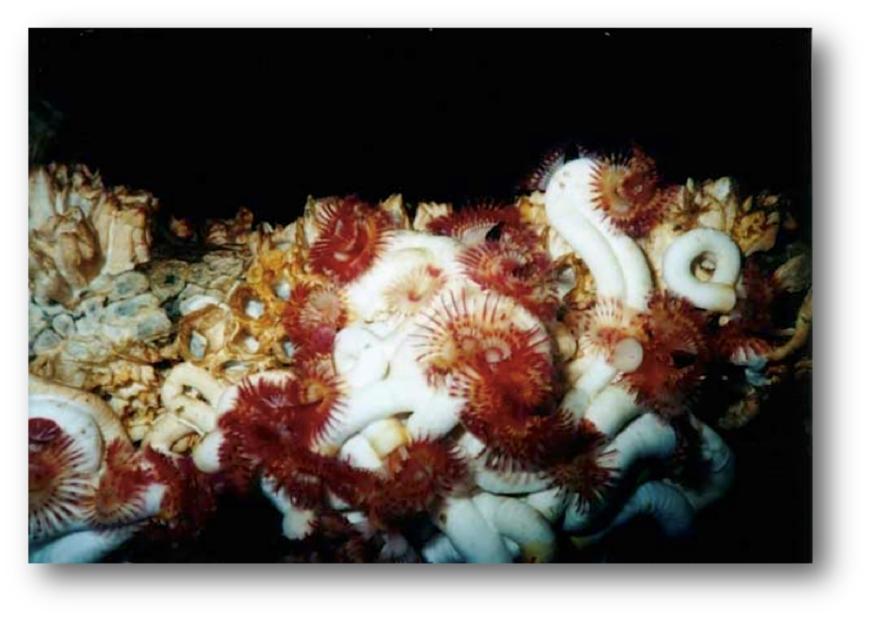 Serpulid Worms