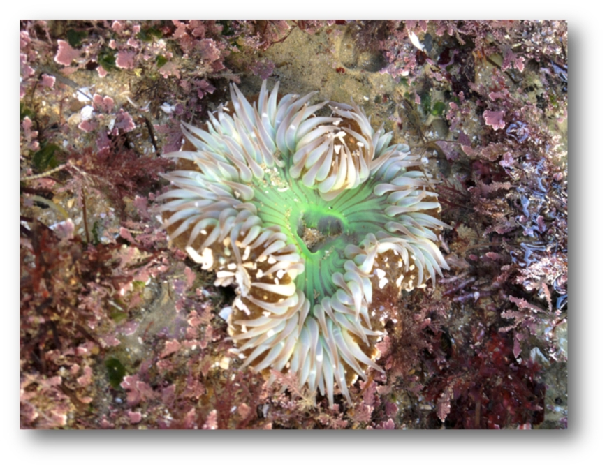 Solitary Anemone