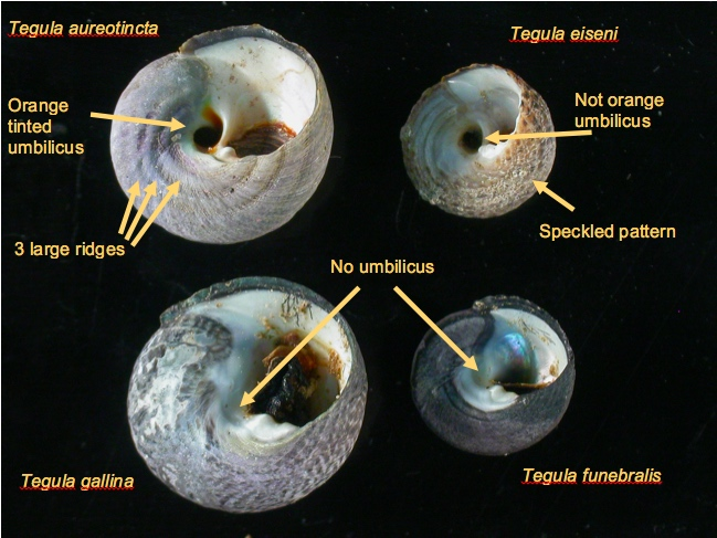 Tegula Snails