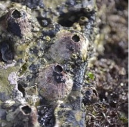 Thatched Barnacles