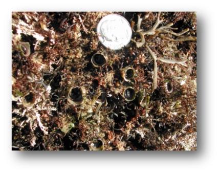 Tube Snails