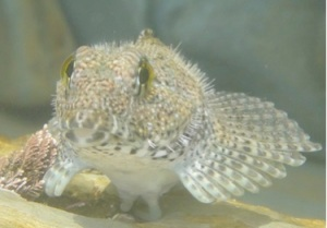 Wooly Sculpin