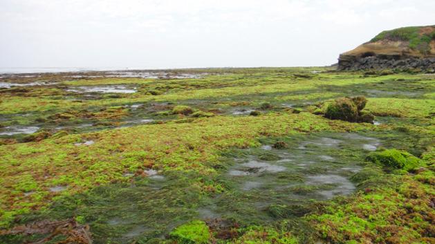 Algae in Tidepools