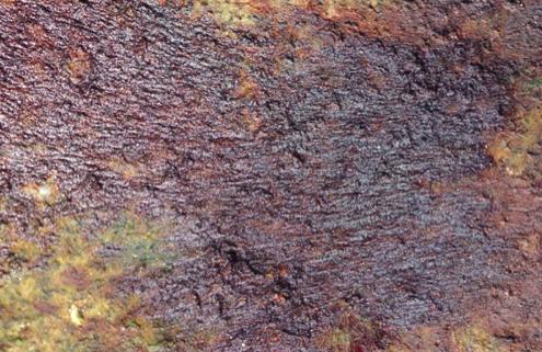Bangia vermicularis