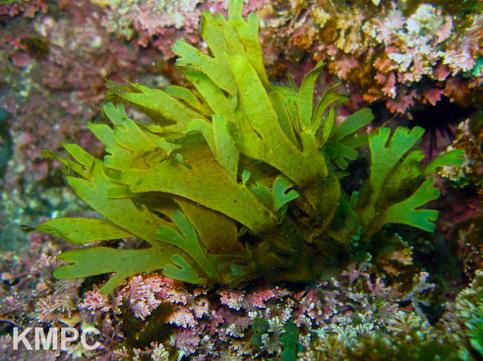 Dicyota coriacea