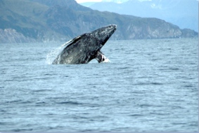 Whale jumping out of water