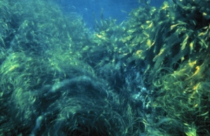 Kelp and Surf Grass