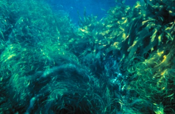 Kelp and Surf Grass