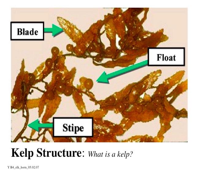 Kelp Structure