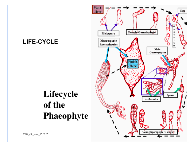 Lifecycle of Phaeophyte