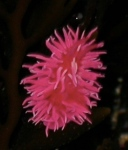 Rosy Nudibranch