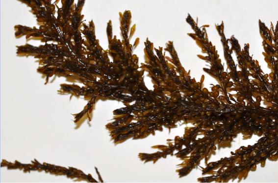 Sargassum agardhianum