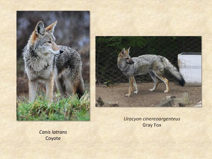 coyote,fox