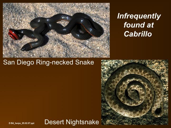 ring-necked snake,desert night snake