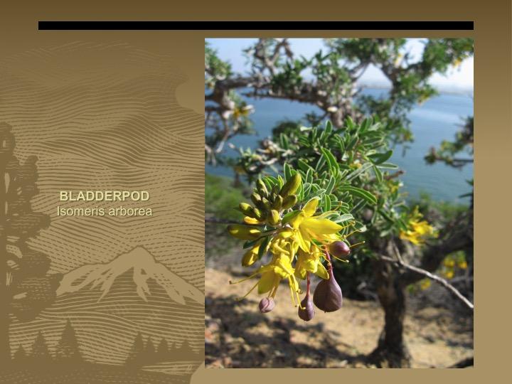 Bladderpod