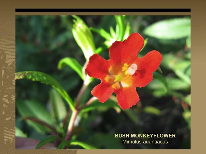 Bush Monkeyflower
