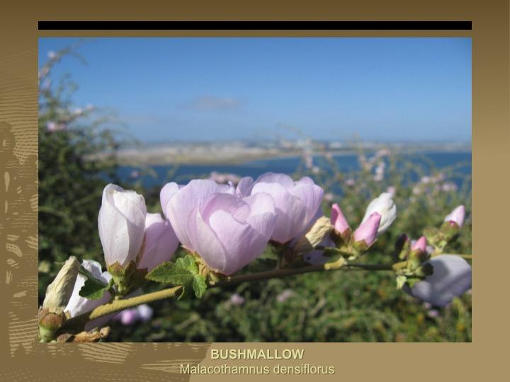 Bushmallow