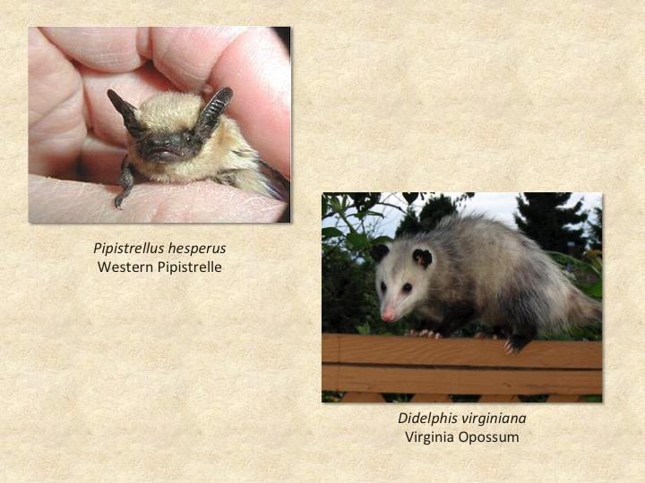 Pipistrelle,opossum