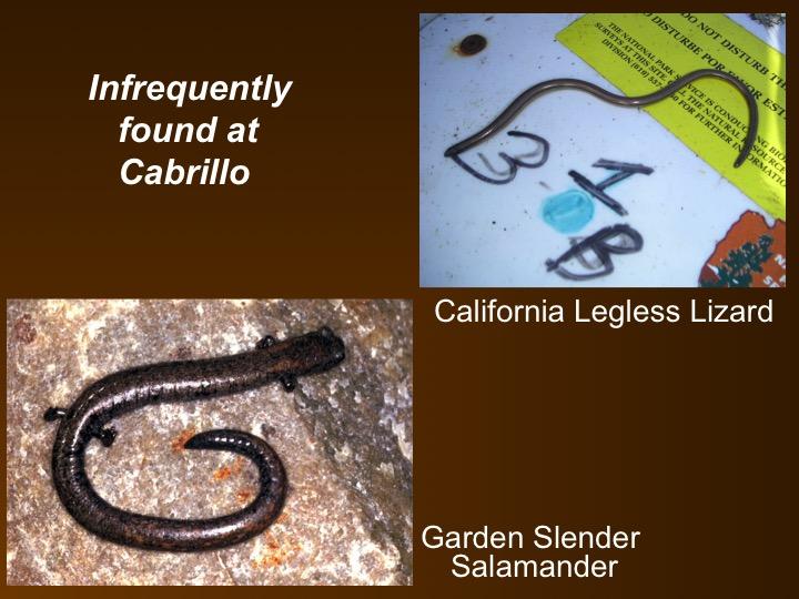 Legless lizard,salamander
