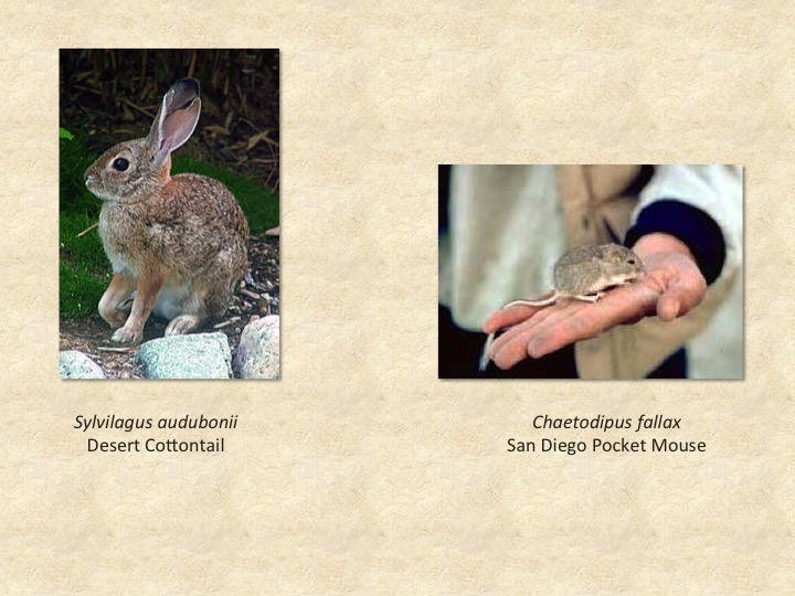 Cottontail rabbit, mouse