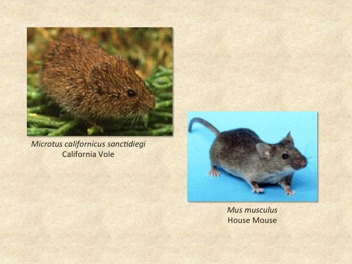 Vole,mouse