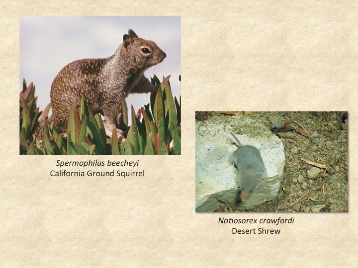 Ground Squirrel, Desert Shrew