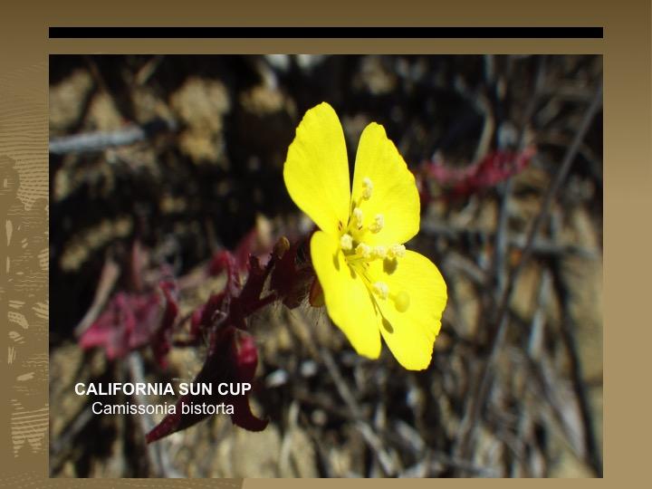 California Sun Cup
