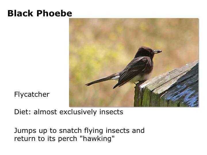 Black Phoebe