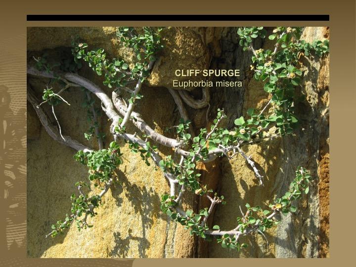 Cliff Spurge