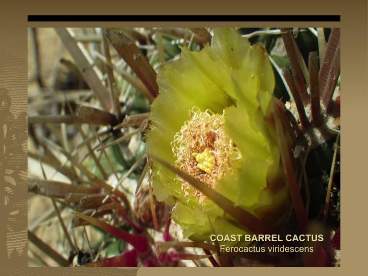 Coast Barrel Cactus