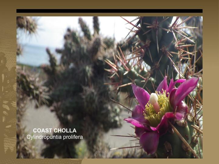 Coast Cholla