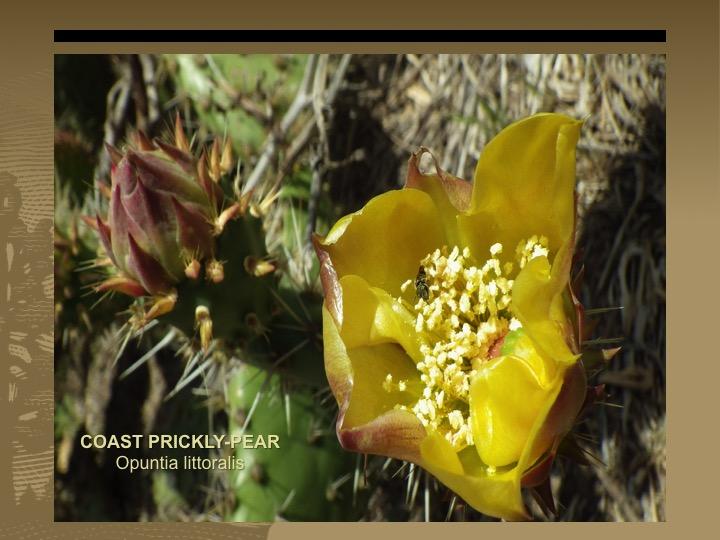 Coast Prickly-Pear