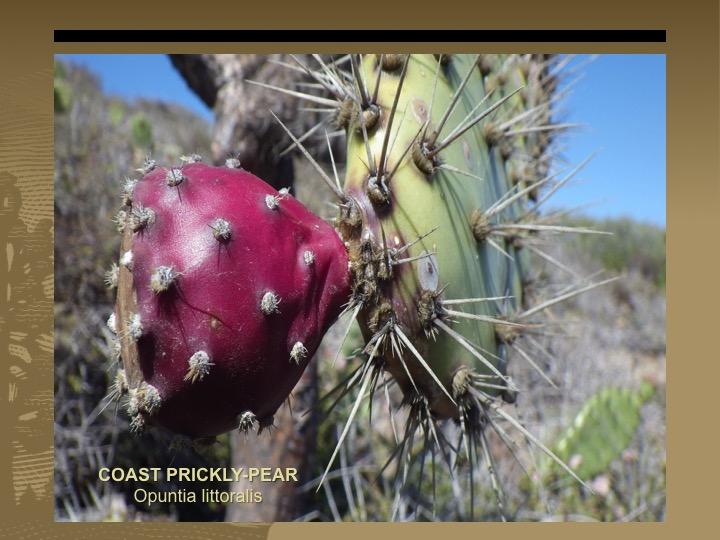 Coast Pricky-pear