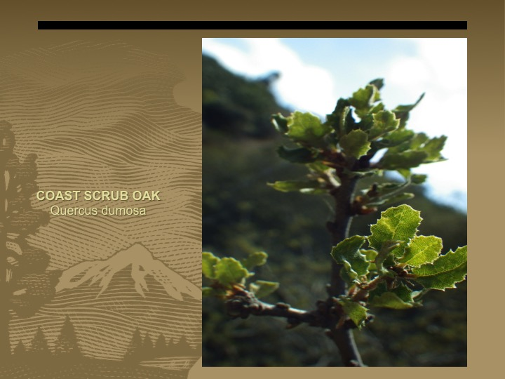 Coast Scrub Oak