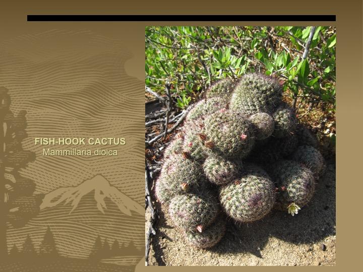 Fish-hook cactus