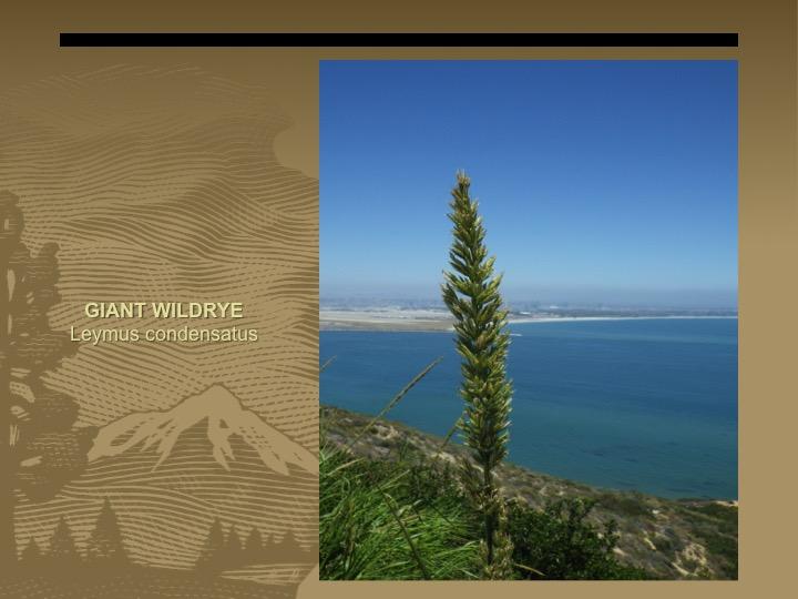 Giant Wildrye