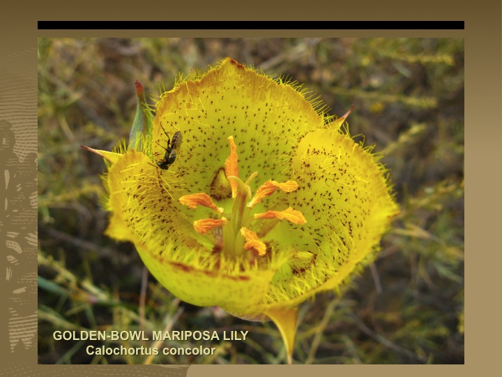 Golden-Bowl Mariposa Lily