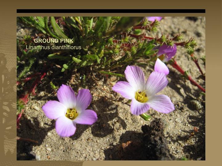 Ground Pink